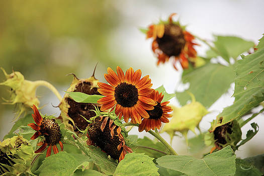Sunflowers in Fall by Theresa Campbell