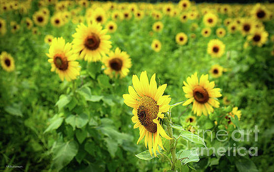 Sunflowers in Memphis IV by Veronica Batterson