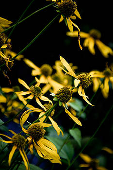 Jonathan Hansen - Sunflowers in North Carolina