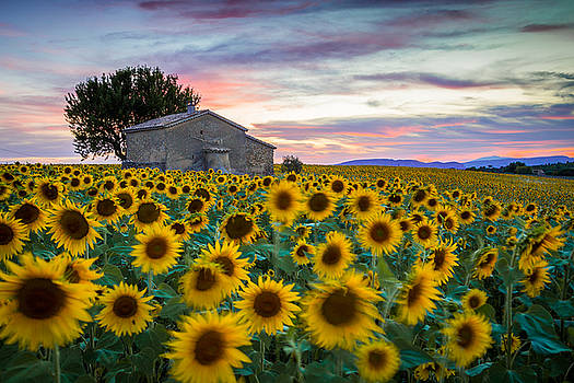 Sunflowers in Provence by Stefano Termanini