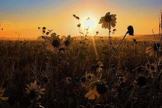 Sunflowers in the light of the rising sun, USA by Ronald Jansen