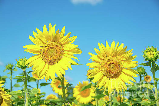 Sunflowers in the Sun by Cheryl Baxter