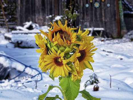 Sunflowers in winter by Anton Kalinichev