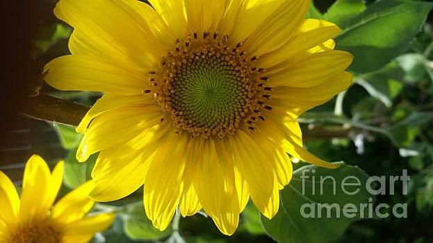 Sunflowers-just bloomed by Holly Martinson