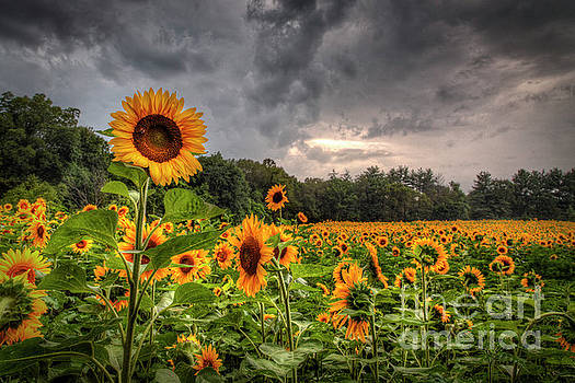 Larry Braun - Sunflowers Standing Tall