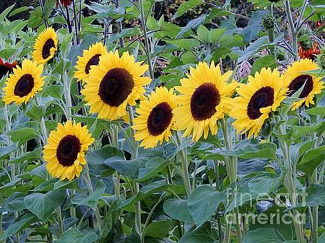 Sunflowers by Lisa Gilliam