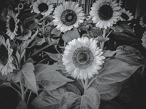 Sunflowers  by Lisa Purcell