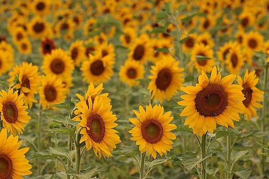 Sunflowers by Martha Boyle