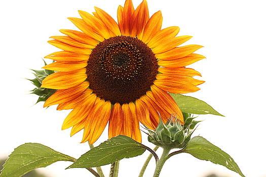 Sunflowers of Sanborn by Martha Boyle
