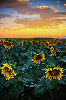 Sunflowers Under A Sunset Sky by John De Bord