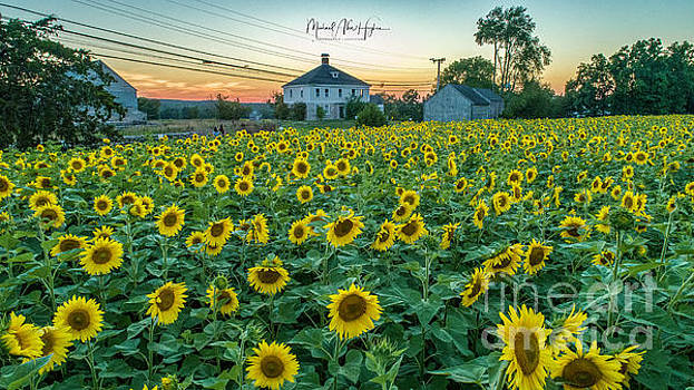 Sunflowers for Wishes  by Michael Hughes