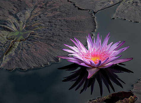 Sunkissed Water Lily by Georgette Grossman