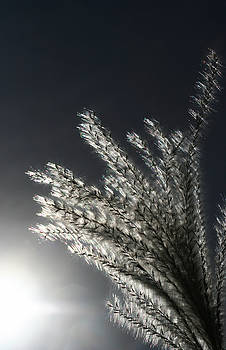 Sunlight Grass by Steve Augustin
