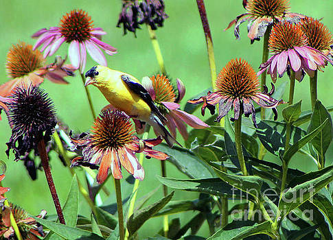 Sunlight on an American Gold Finch by Dan De Ment