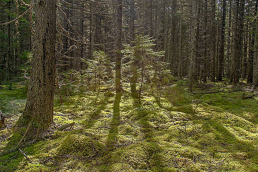 Sunlight Through the Woods Photo by Peter J Sucy
