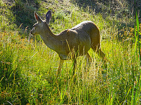 Sunlit Doe by Pacific Northwest Imagery