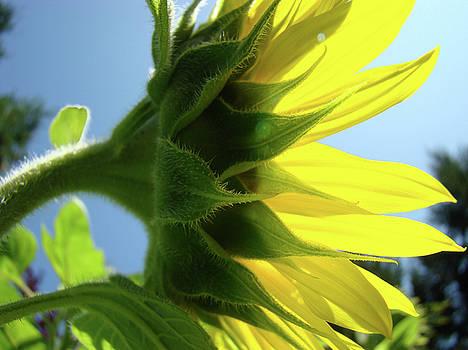 Baslee Troutman - Sunlit Glowing Sunflower Floral art Baslee Troutman