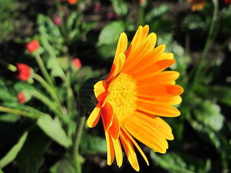 Sunlit Orange Daisy by Lynn Harrison