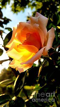 Sunlit Rose by Lisa Holmgreen