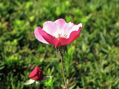 Sunlit Pink Rose by Lynn Harrison