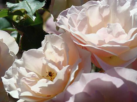 Baslee Troutman - Sunlit Soft Pink Roses art prints Rose Garden Baslee Troutman