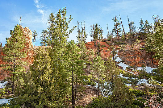 Sunlit trees at Bryce Canyon by Daniela Constantinescu