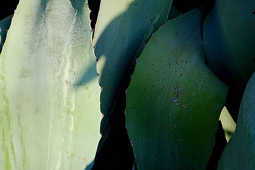 Sunlit Wild Agave  by August Timmermans