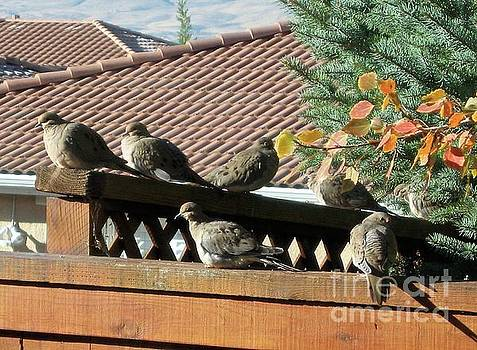 Sunning Doves by Phyllis Kaltenbach