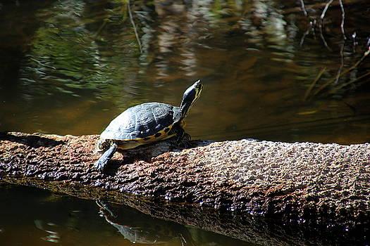 Sunning Turtle by Rosanne Jordan