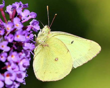 Sunny Butterfly by Doris Potter