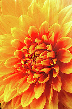 Sunny Dahlia by Garry Gay