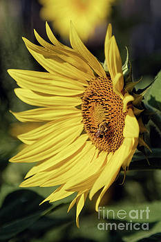 Sunny Day Sunflower by Natural Focal Point Photography