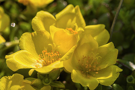 Sunny Golden Purslane Blossoms by Kathy Clark