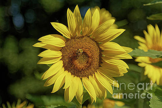 Sunny Sunflower and Friend by Natural Focal Point Photography
