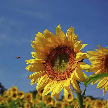 Sunny sunflower soloist with backup chorus by R V James