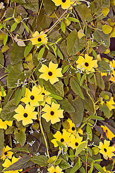 Sunny Yellow Star Vine by Peter J Sucy