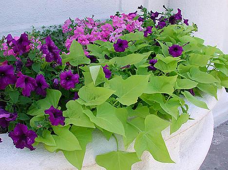 Kathi Shotwell - Sunnyside Petunias