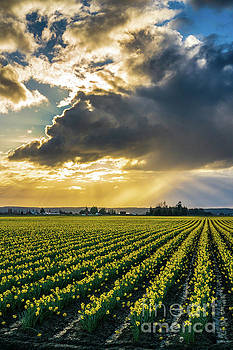 Sunrays Clouds Angles Skagit Daffodil Field by Mike Reid