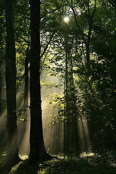 Sunrays in Forest by Shelly Greer