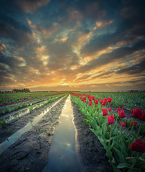 Sunrise at tulip filed after a storm by William Lee