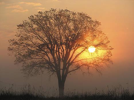 Sunrise Elm by Rolf Olson