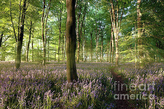 Sunrise in bluebell forest with little path by Simon Bratt Photography LRPS
