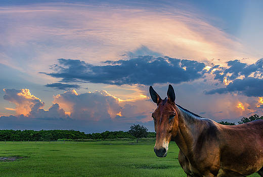 Sunset and Mule by Louise Hill