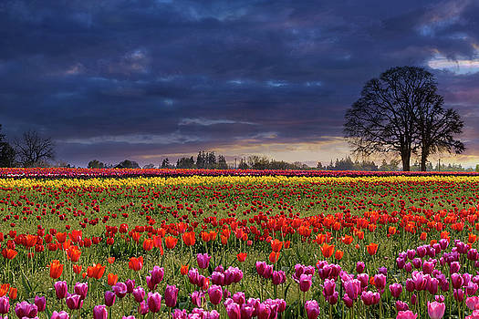 Sunset at Colorful Tulip Field by David Gn
