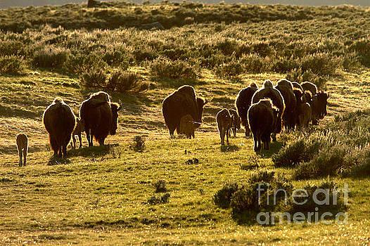Adam Jewell - Sunset Bison Stroll