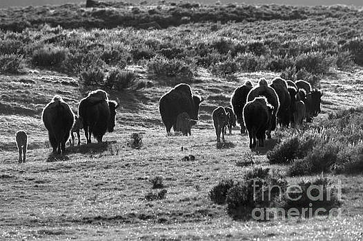 Adam Jewell - Sunset Bison Stroll Black And White