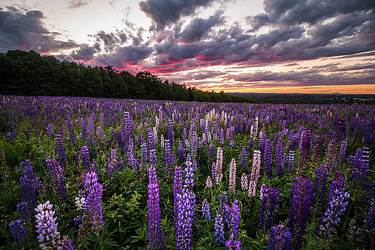 Sunset Lupines by Cody Gould