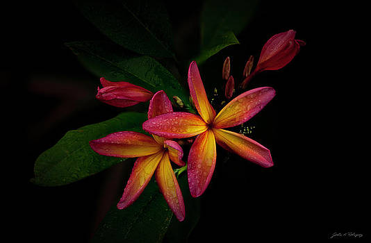 Sunset Plumerias in Bloom #2 by John A Rodriguez