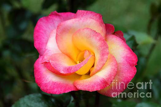 Sunset Rose by Dawn Kori Snyder