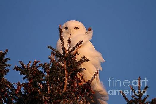 Sunset Snowy Pine by Teresa McGill